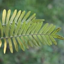 Pleopeltis michauxiana
