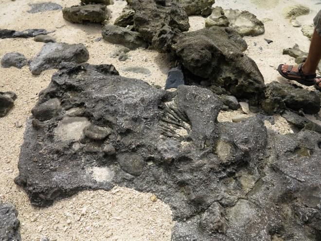 Rarotonga Beach, Fossilized coral