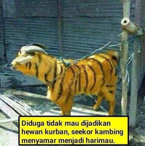 Kambing Berbulu Harimau Buat Qurban