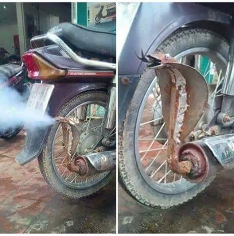 ada ular kobra di knalpot motor honda astrea prima