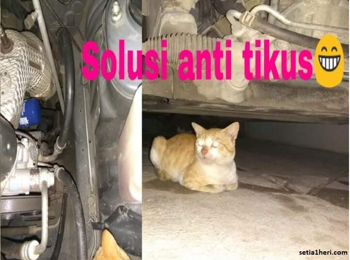 solusi anti tikus di mobil dengan memelihara kucing