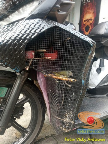 Gokil, miara burung pakai sangkar di sela-sela sayap bodi motor.. (2)