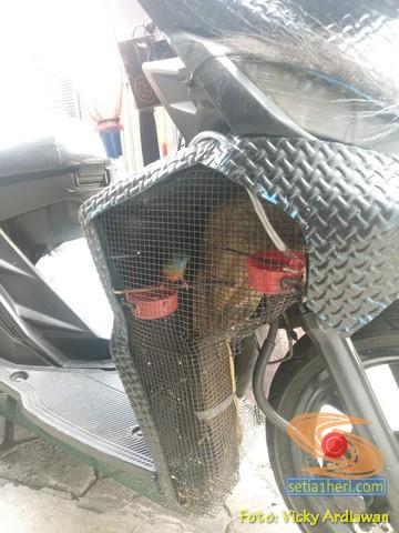 Gokil, miara burung pakai sangkar di sela-sela sayap bodi motor.. (3)