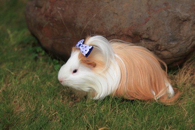 Guinea Pig Silkie Setiaji Pamungkas