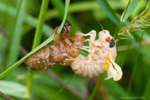 Cicadas molt shortly after emerging from the ground. Photo by Gerald D. Tang from tangsphoto.photoshelter.com.