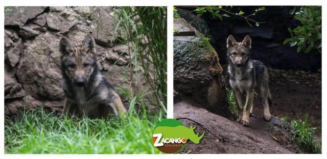 Nacen 2 crías de Lobo Mexicano Gris en Zacango