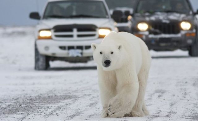 Científicos rusos llevan dos semanas sitiados por 10 osos polares