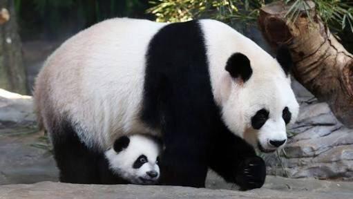Panda gigante, excluido de lista de especies en peligro de extinción