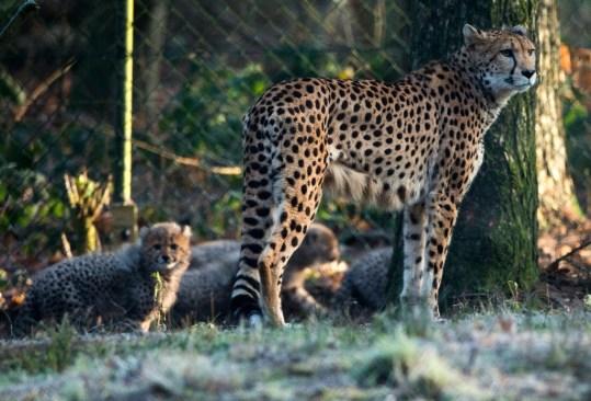 El guepardo, al borde del peligro de extinción