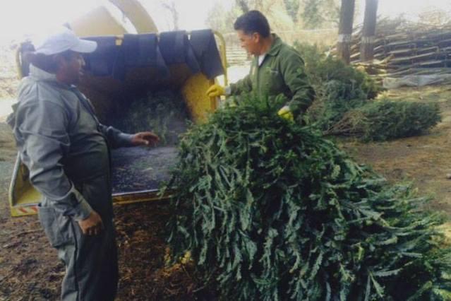 Depositar en los centros de acopio el árbol natural de Navidad solicita el ayuntamiento
