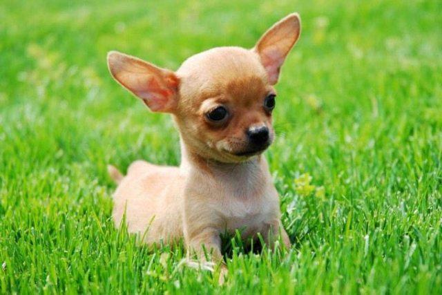 Decapita de un mordisco al Chihuahua de su novia