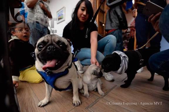 Se reúnen en caminata de perros raza Pug en Toluca