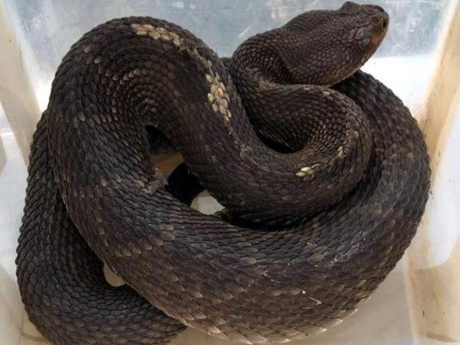 Autoridades indican que hacer en caso de encontrar una serpiente venenosa