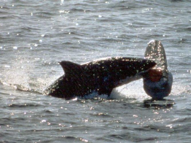 Incrementa avistamiento de tiburones en Australia