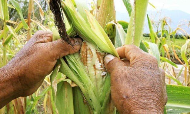 Dieta de la milpa, alternativa contra desnutrición y obesidad infantil