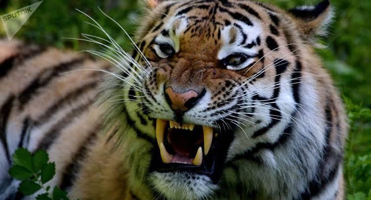 Tigre se escapa de auto descapotable en plena calle