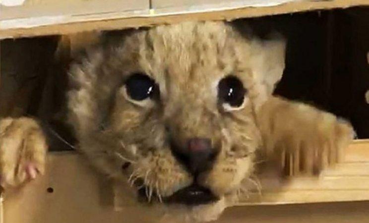 La Guardia Nacional rescató a un cachorro de león que fue enviado por paquetería desde Guanajuato hasta Tijuana. El león fue localizado tras labores de inspección en la empresa que recibió y envió el paquete.