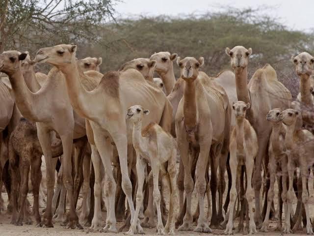 Sacrificarán a miles de camellos salvajes por sequía en Australia