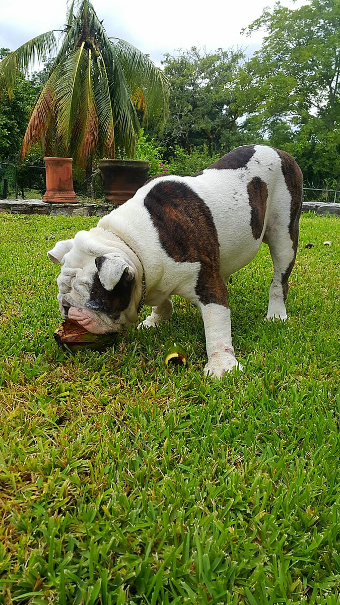 Rescatan a perrita Bulldog que fue secuestrada en Iztapalapa