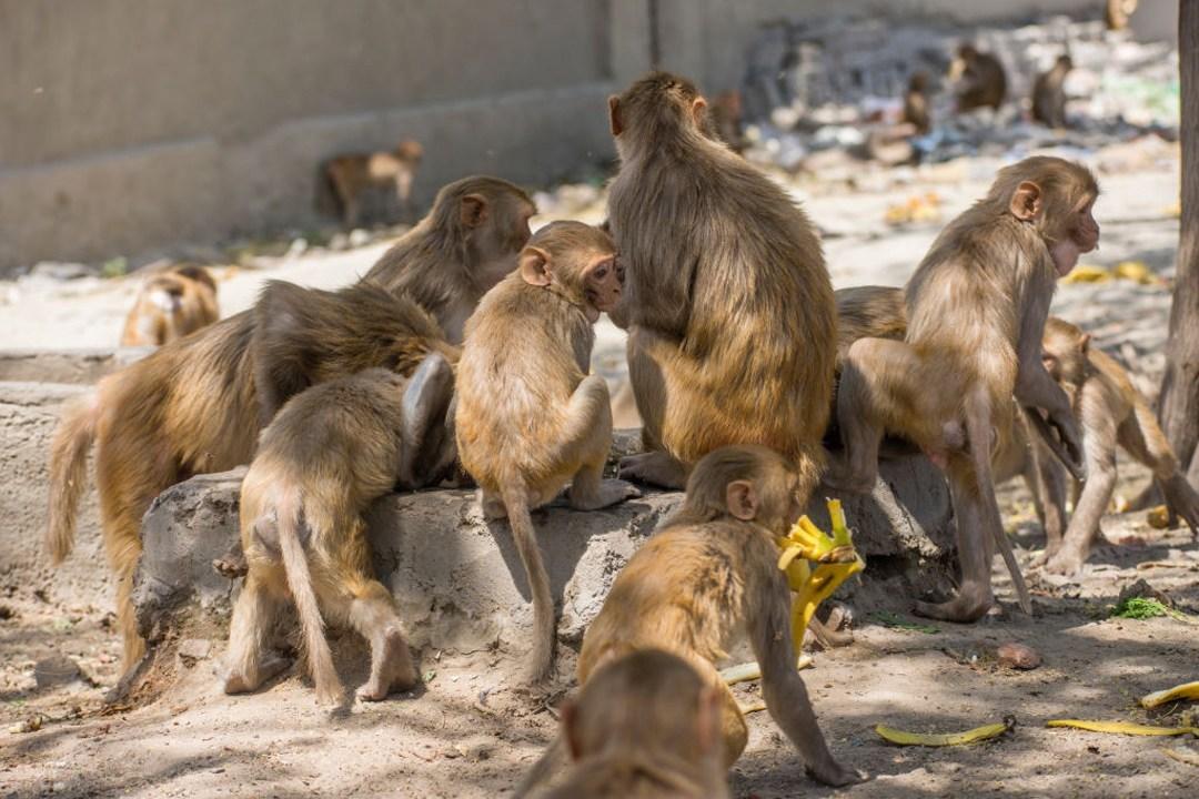#Video Monos roban muestras de COVID-19 tras atacar a un técnico de laboratorio