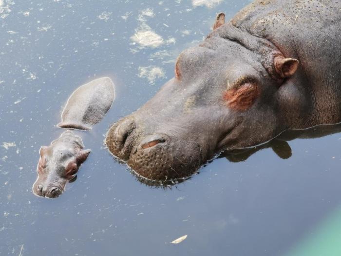 Nace bebé hipopótamo en el Zoológico de Zacango