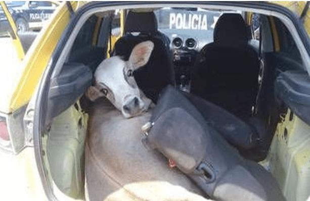 ¡Policía en Tabasco buscaba armas en retén y lo que encontraron fue una res! Iba en la cajuela del automóvil