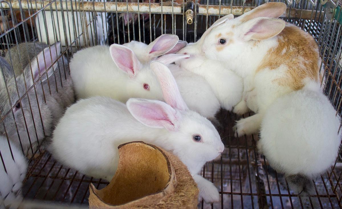 Reciben conejos mexiquenses inoculación contra enfermedad viral hemorrágica