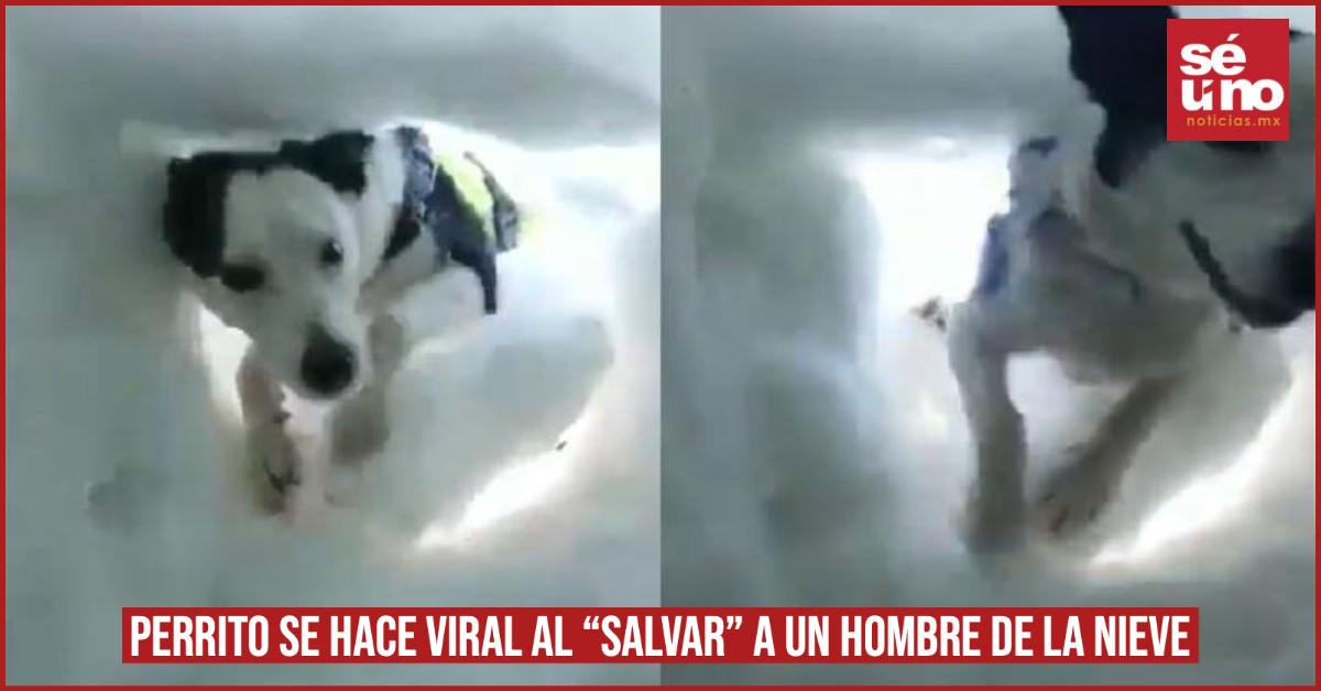 "Perrito se hace viral al ""salvar"" a un hombre de la nieve"