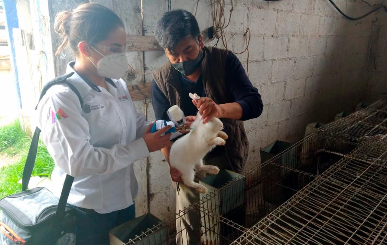 Llega Vacunación contá hemorragia viral del conejo a Edoméx