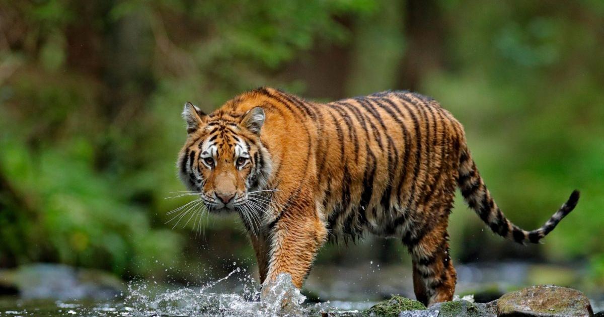 Hotel permite a sus visitantes hospedarse junto a majestuosos tigres; ¿dónde está y cuánto cuesta?