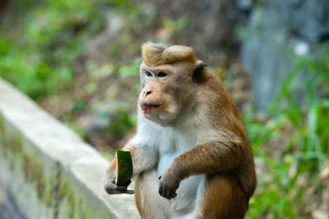 """Un mono regresó a la ciudad para buscar """"venganza"""" de los habitantes"""