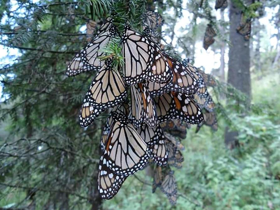 Cuenta San José del rincón con reserva natural de la mariposa monarca