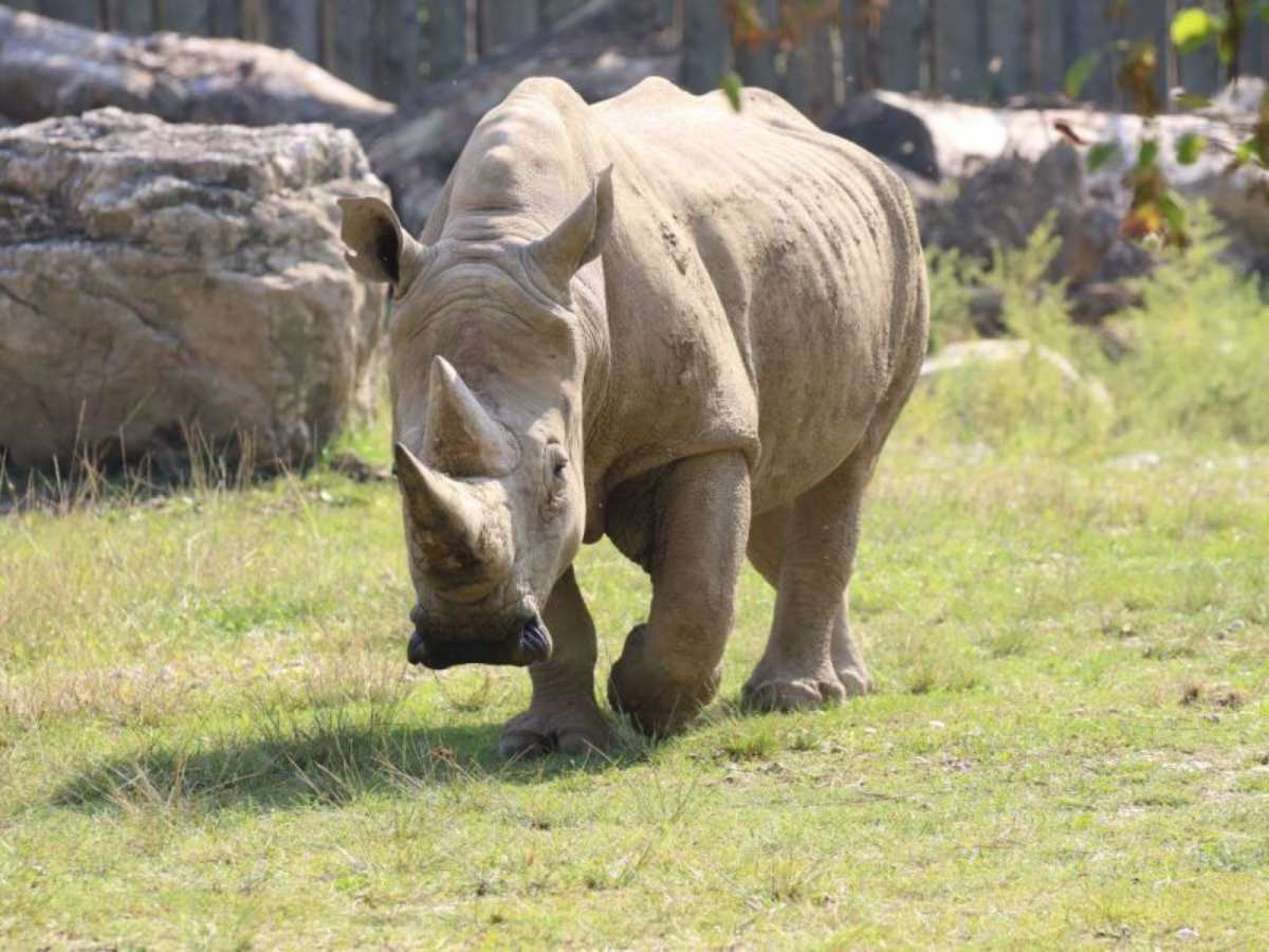Rinoceronte blanco llamado Toby fallece de regreso a su refugio en Italia