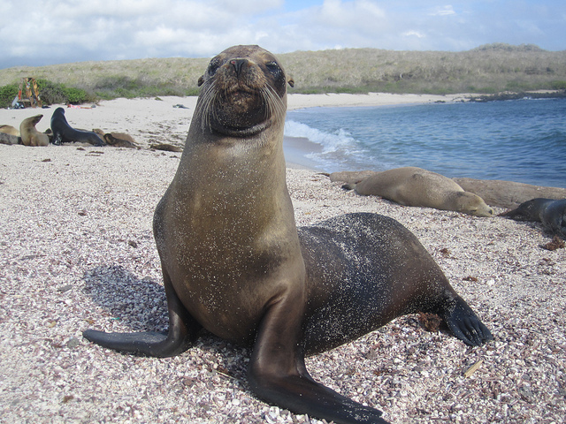 Ласты морских львов и котиков (sea lion)