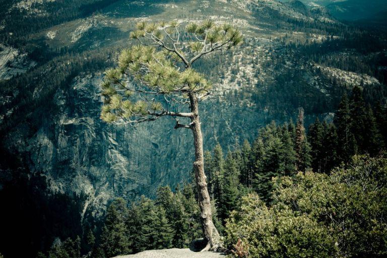 Йосемити парк. Glacier Point. Сосна на краю