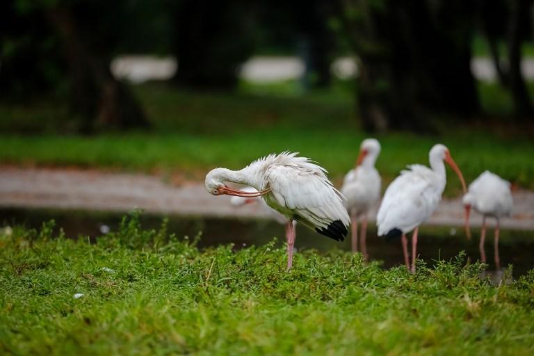 Майами. Экзотические птицы на Ки Бискейн