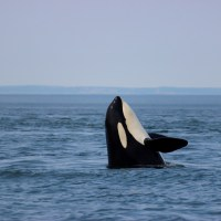 A Guide To Whale Watching In Canada: Orca In The Wild!