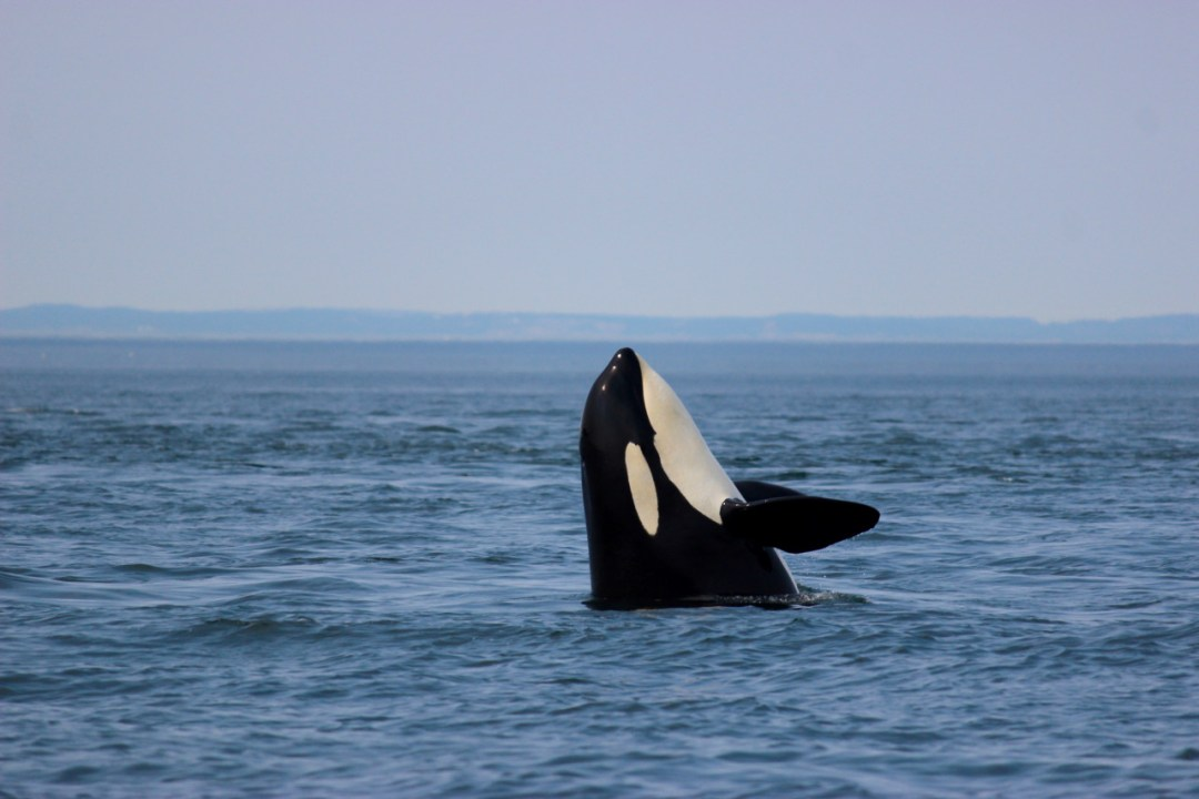 Orca Whales braching in Vancouver Island, Canada