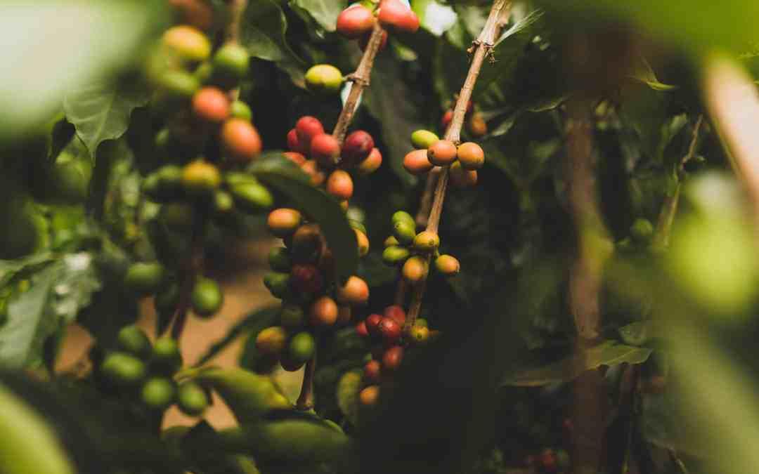 Understanding coffee varietals