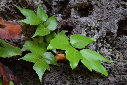 Cliff Plants
