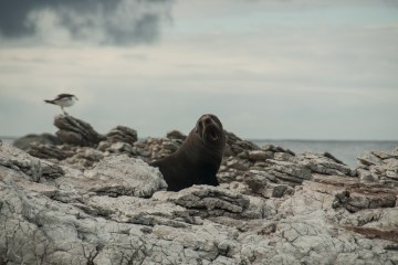sea lion on the cliff of New Zealand's Landscape By Kaelyn Lynch