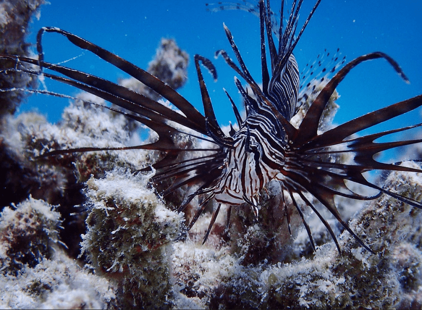 Photo of a lion fish taken on a recent university research trip in the Maldives, Fafuu atoll by Jamie Small