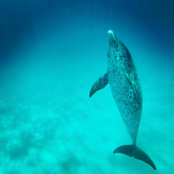 @aaines Went fishing and ran into a pod of very playful spotted dolphins #bimini #sharklab #bahamas #goPro #goprodaily #dolphin #nature #snorkel