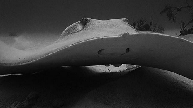 stingray, instagram, underwater photography, black and white photography, sea life, underwater, ocean conservation, conservation photography