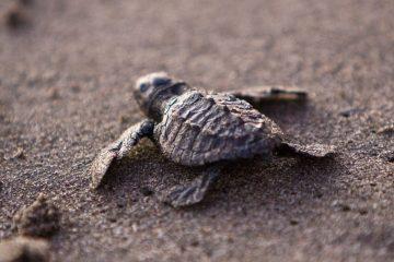 baby sea turtle sea turtle conservation