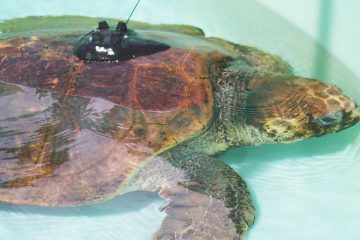 "Loggerhead Marinelife Center released ""Lilly"" the sea turtle, named after Palm Beach resort wear icon Lilly Pulitzer radio tag"