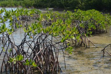 Mangrove research Bahamian Students Look for Disease in the Trees North Carolina State University