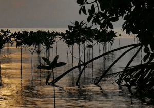 mangroves and example of blue carbon