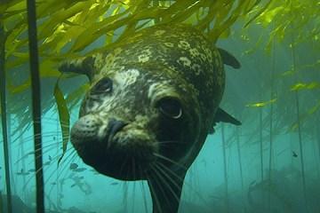 harbor seal in the great bear sea british columbia