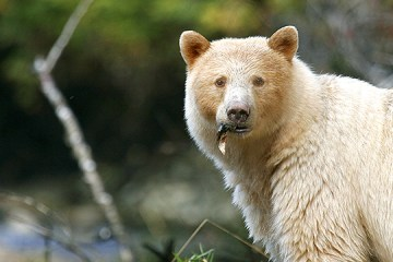 spirit bear in british columbia at the breat bear sea